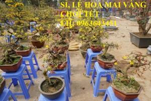 Sỉ, lẻ hoa mai vàng chơi tết, cây mai vàng bonsai đủ cỡ, giá rẻ, bao hàng chuẩn đẹp, giao toàn quốc