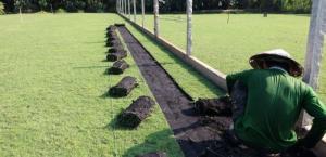 Cỏ nhung Nhật cỏ kiểng trang trí sân vườn
