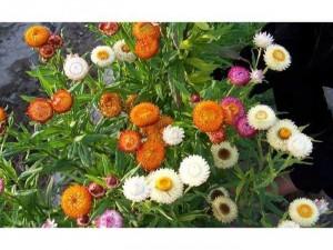 Cây hoa bất tử đà lạt