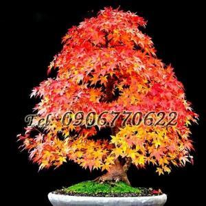 Hạt giống bonsai phong lá đỏ – Bịch 10 hạt