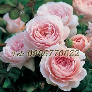 Hạt giống hoa hồng Austin – Bịch 10 hạt