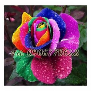 Hạt giống hoa hồng 7 màu – Bịch 10 hạt
