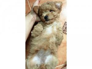 Poodle tiny