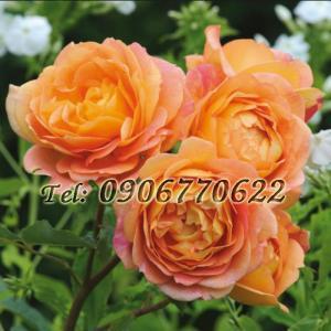 Hạt giống hoa hồng leo Pháp – Bịch 10 hạt