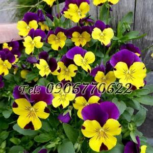 Hạt giống hoa Pensee – Bịch 10 hạt