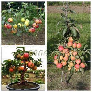 Hạt giống cây táo lùn – Bịch 10 hạt
