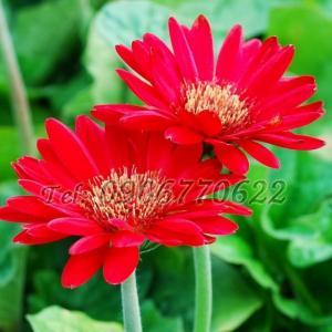Hạt giống hoa cúc đồng tiền – Bịch 10 hạt