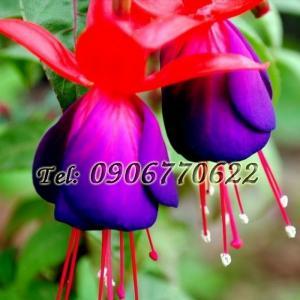 Hạt giống hoa lồng đèn – Bịch 10 hạt