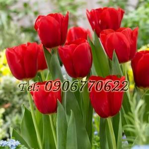 Hạt giống hoa tulip – Bịch 10 hạt