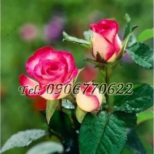 Hạt giống hoa hồng mix 2 màu – Bịch 10 hạt