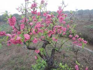 Cây giống hoa đào bích hoa đào phai số lượng lớn giá rẻ -hỗ trợ vận chuyển
