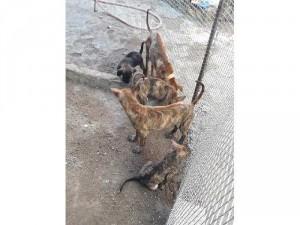 Bán chó phú Quốc vện hổ con.bầy 3 tháng