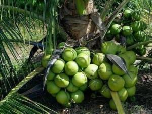 Cây giống dừa xiêm lùn nhanh trái