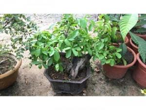 Sơri bonsai giá rẻ