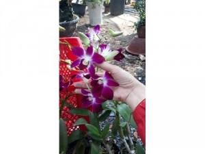 Hoa lan sonia đẹp dịu dàng