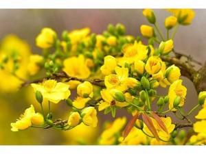 Mai vàng cây giống