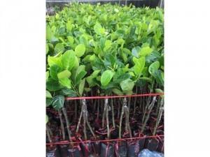???????? MÍT THÁI SIÊU SỚM ĐẦY ĐỦ CÁC KÍCH CỠ ✅Dễ trồng ✅Cho trái sai ???? Thời gian trồng chỉ từ 8-12 tháng là ra quả với cây giống. ????????Ib ngay nha mn ơi???????? Giao cây toàn quốc, khách thanh toán khi nhận cây Website: www.nhavuonkhanhvo.vn ☎ Hotl