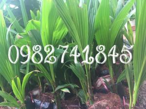 dừa xiêm xanh