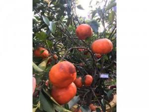 Cam canh siêu bông, trái ngọt dáng cao