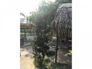 Tùng la hán cây lớn hoành 23 cm cao hơn 2m