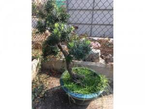 tùng la hán dáng bonsai giá rẻ sale nhanh