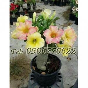 Hạt giống hoa sứ Thái Lan mix 2 màu vàng hồng – Bịch 10 hạt