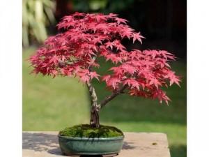 Phong lá đỏ để bàn dáng bonsai