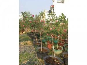 Hoa hồng tree sapa ra hoa quanh năm