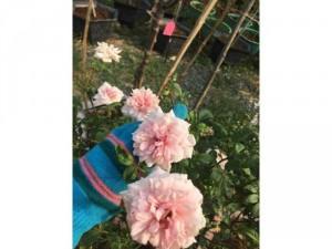 Hoa hồng tree đào rất thơm ra hoa quanh năm