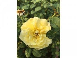 Hoa hồng ngoại bụi vàng rậm nhiều bông