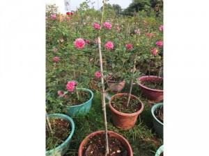 Hồng tree sapa hồng thơm hoa quanh năm