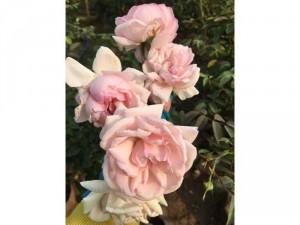 Hoa hồng dáng tree thân gỗ hoa quanh năm