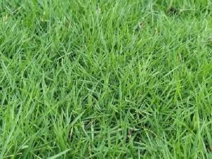 Cỏ nhung Nhật trồng sân vườn lót đá