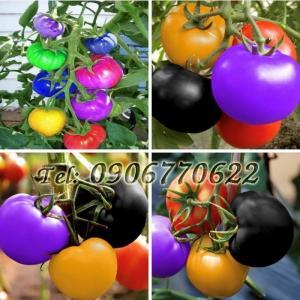Hạt giống cây cà chua 7 màu – Bịch 10 hạt