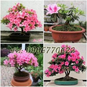 Hạt giống hoa Đỗ Quyên hồng bonsai lùn – Bịch 10 hạt