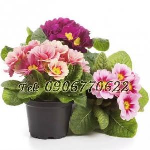 Hạt giống hoa chào xuân – Bịch 10 hạt