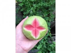 Ổi RuBy ruột đỏ ít hạt ra trái sớm