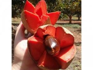 Hồng xiêm ruột đỏ nhập khẩu trái khổng lồ năng suất kinh tế cao