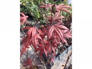 Cây Phong lá đỏ 7 thuỳ 60-70cm