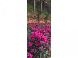 Thạch thảo đỏ túi