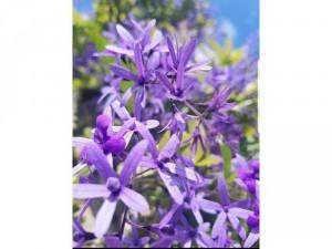 Hoa mai xanh thái ra bông quanh năm