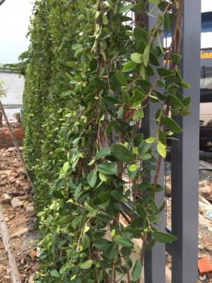 Hàng rào cây xanh tường cây xanh