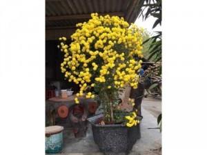 Cúc rũ vàng