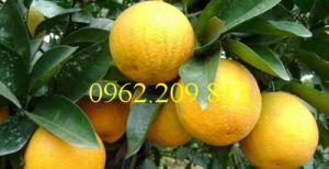 Giống cây cam vinh