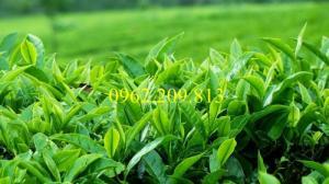 Giống cây trà xanh