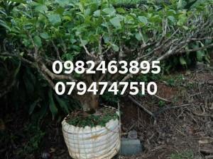 Cây chè xanh cổ thụ - cây chè  bon sai trồng chậu, kiểng cảnh
