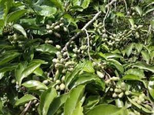 Cây giống hạt dổi ghép Lạc Sơn- Hòa Bình - Nông Nghiệp Việt