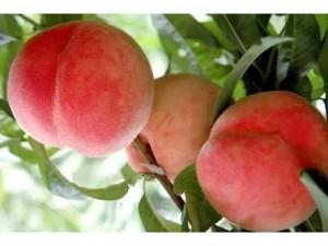 Cây Đào tiên nhanh cho trái thơm ngon