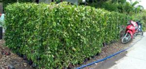 Tường cây xanh cây si gừa tàu các loại