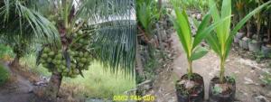 Dừa Xiêm lùn cây giống chuẩn F1